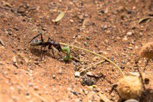 Ameise mit Beute (Namib-Naukluft Park, Namibia)