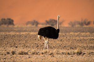 Strauß (Namib-Naukluft Park, Namibia)