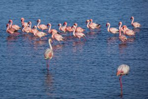 Flamingos (Walvis Bay, Namibia)