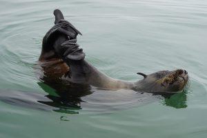 Seehund in Walvis Bay