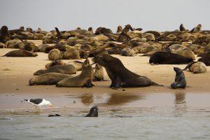 Seehundkolonie (Walvis Bay, Namibia)