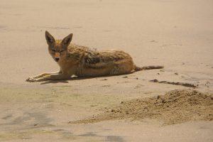 Schakal (Walvis Bay, Namibia)