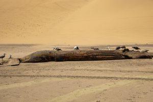 Toter Buckelwal am Strand von Walvis Bay