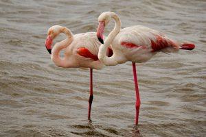 Flamingos mit angezogenem Bein in Walvis Bay