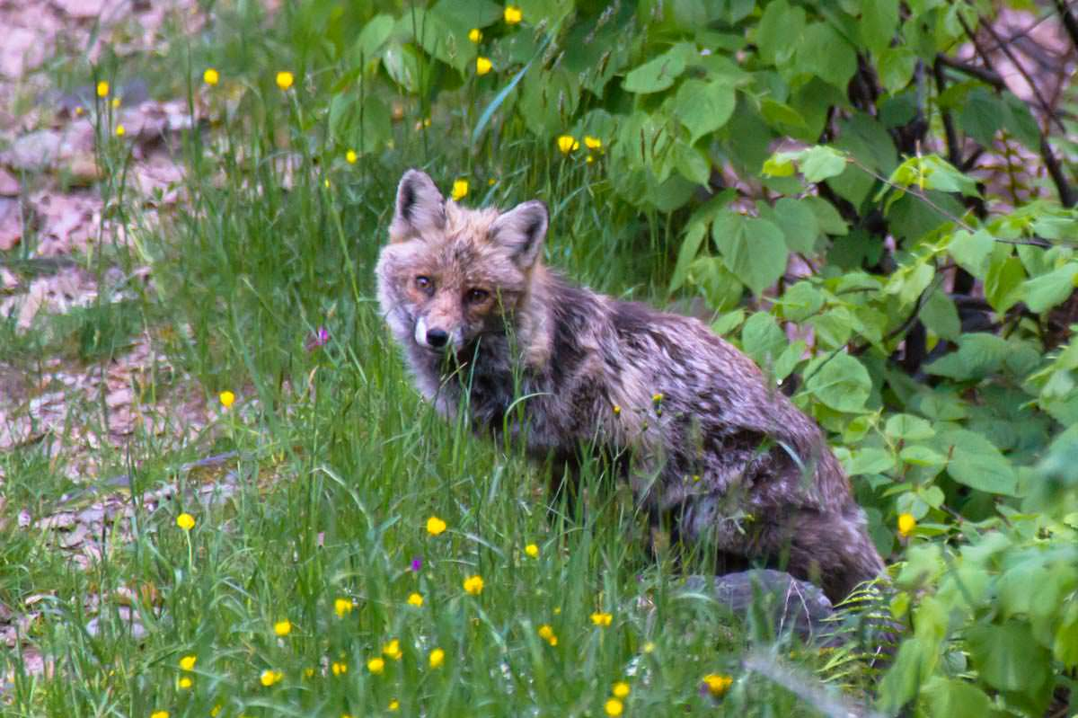 Fuchs im Val Grande