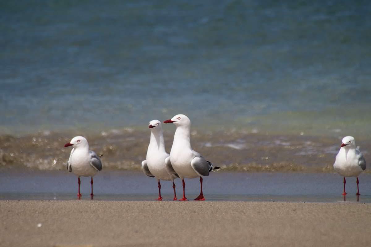 Möwen am Strand der Elliot Bay (Bay of Islands) in Neuseeland