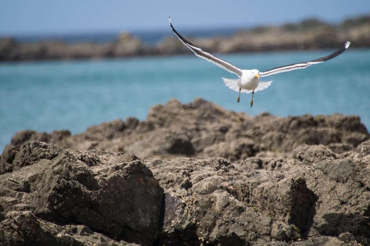 Fliegende Möwe am Strand der Elliot Bay (Bay of Islands) in Neuseeland