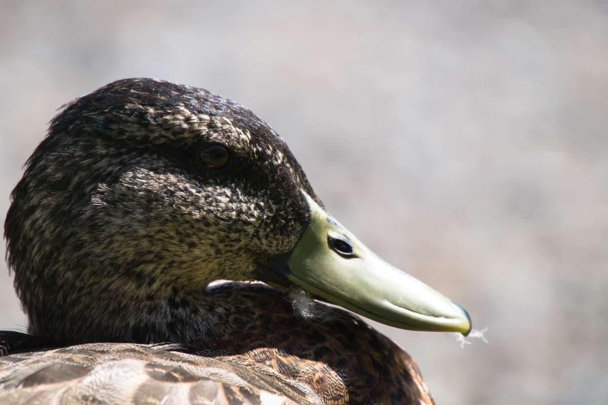 Ente in Tutukaka (Neuseeland)