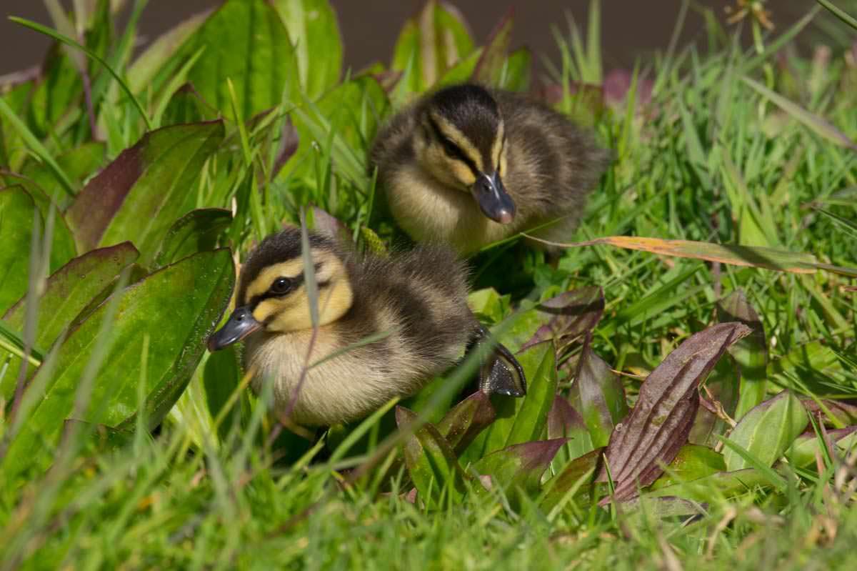 Zwei junge Entenbabies in Tutukaka (Neuseeland)