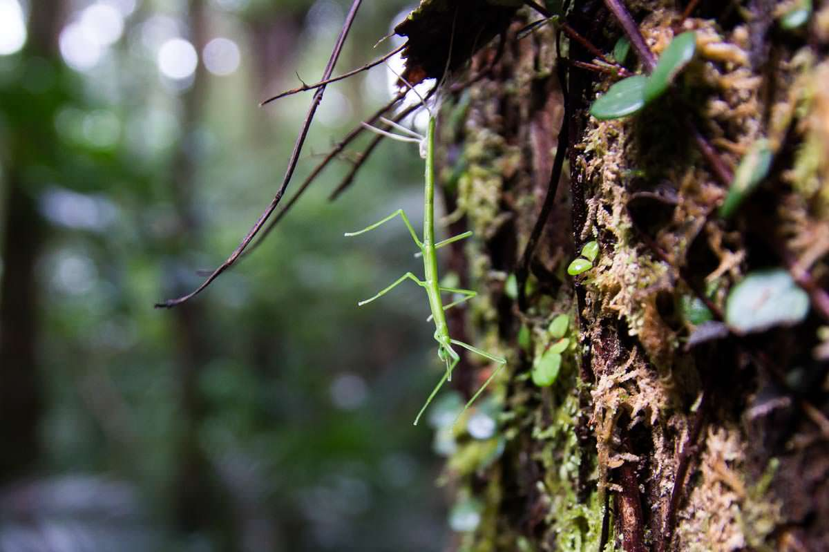 Stabheuschrecke (Sticky Insect) im Whangarei Falls Scenic Reserve in Neuseeland