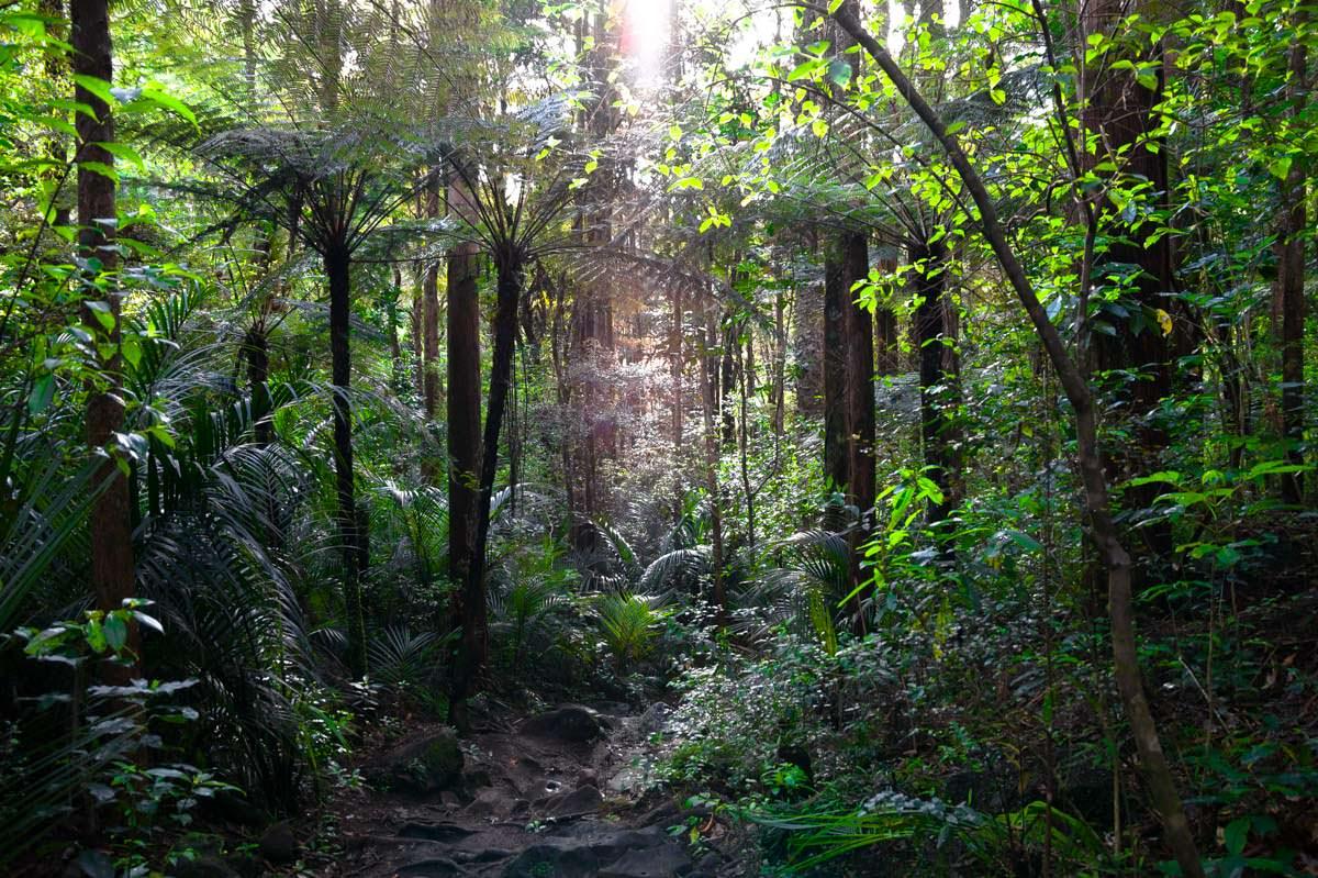 Whangarei Falls Scenic Reserve (Kauri Forest) in Neuseeland