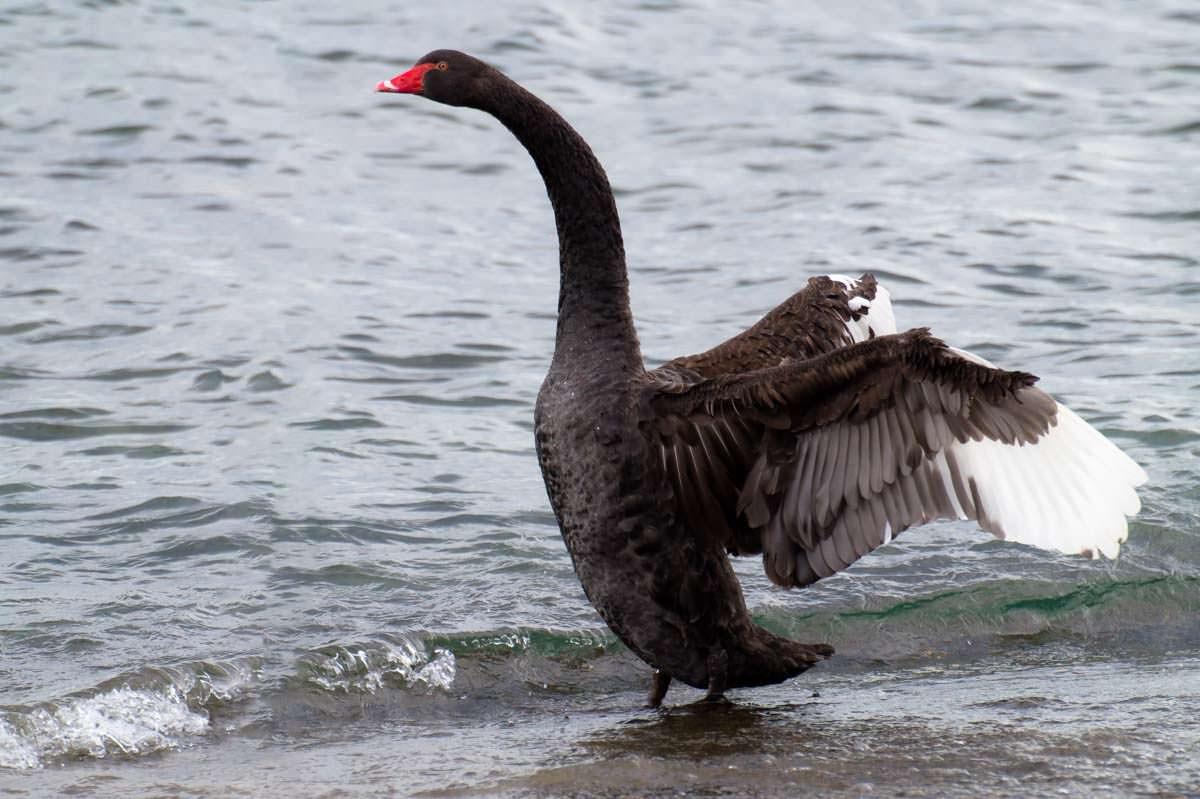 Schwarzer Schwan (Black Swan) im Lake Taupo von Neuseeland