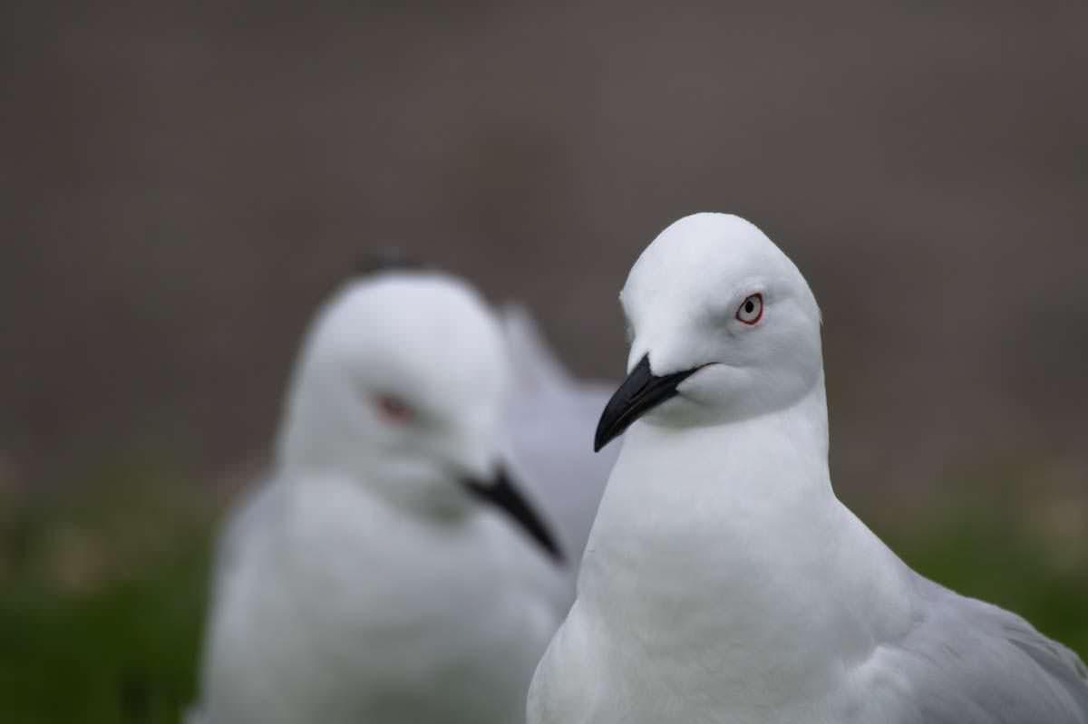 Möwen im Lake Taupo von Neuseeland
