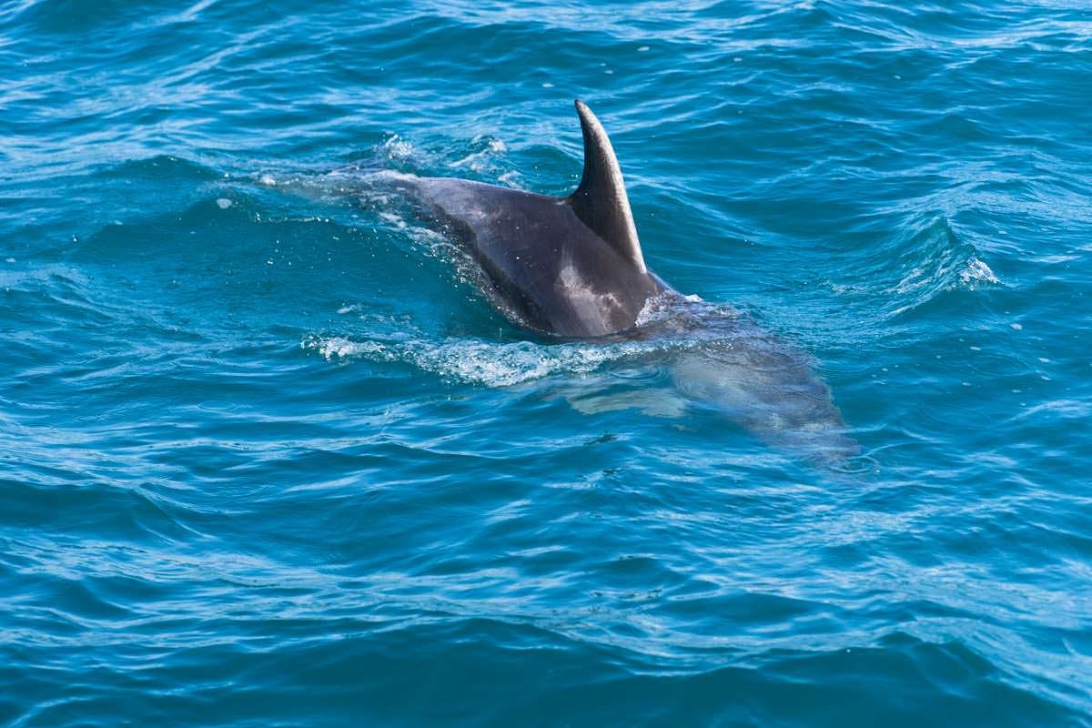 Delfin in der Bay of Islands von Neuseeland