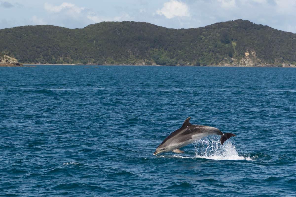 Delfin springt in der Bay of Islands von Neuseeland