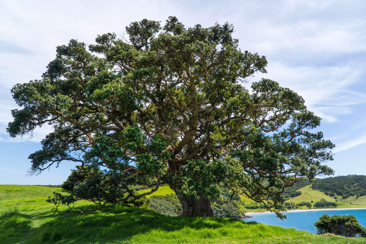 Wunderschöne Natur auf der Urupukapuka Insel in der Bay of Islands von Neuseeland