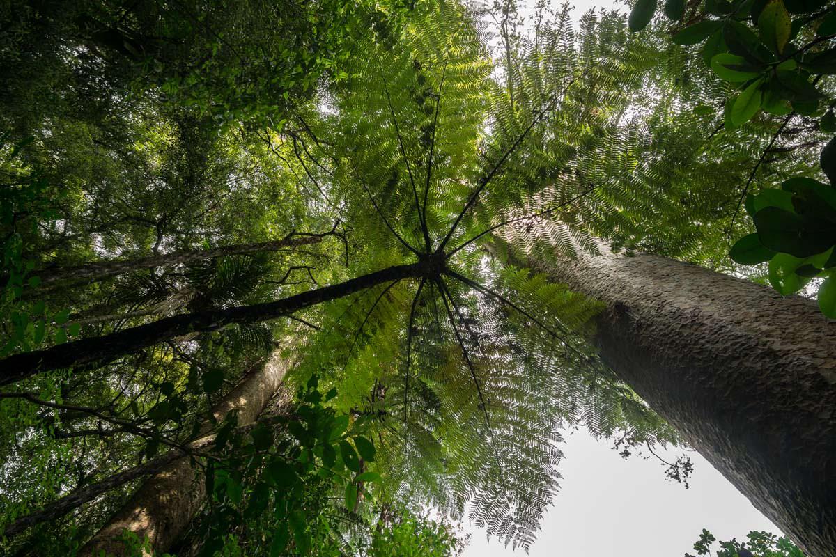 Kauri Wald in Whangarei (Neuseeland)