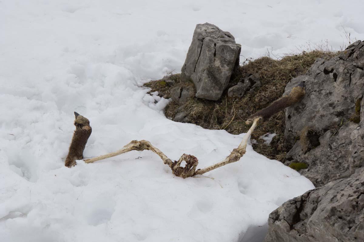 Skelett einer Gämse im Allgäu