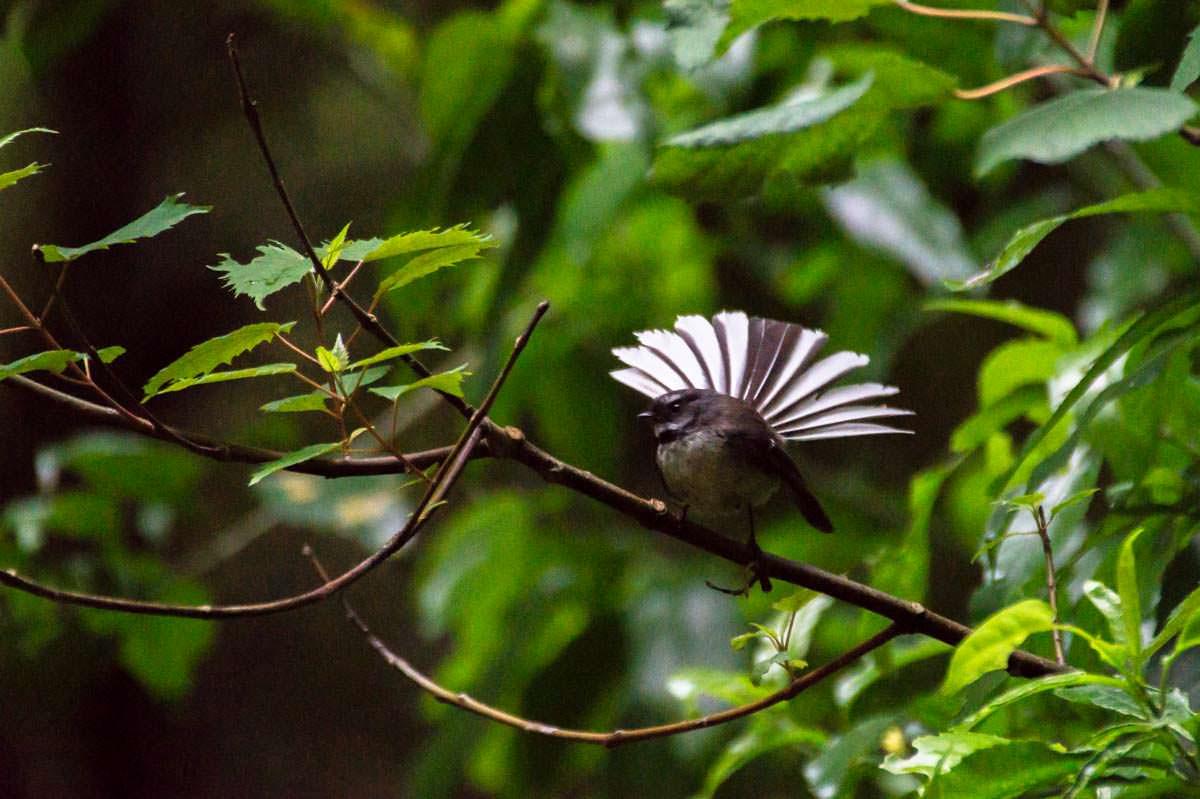 Fantail (Neuseelandfächerschwanz) bei den Hamurana Springs in Neuseeland