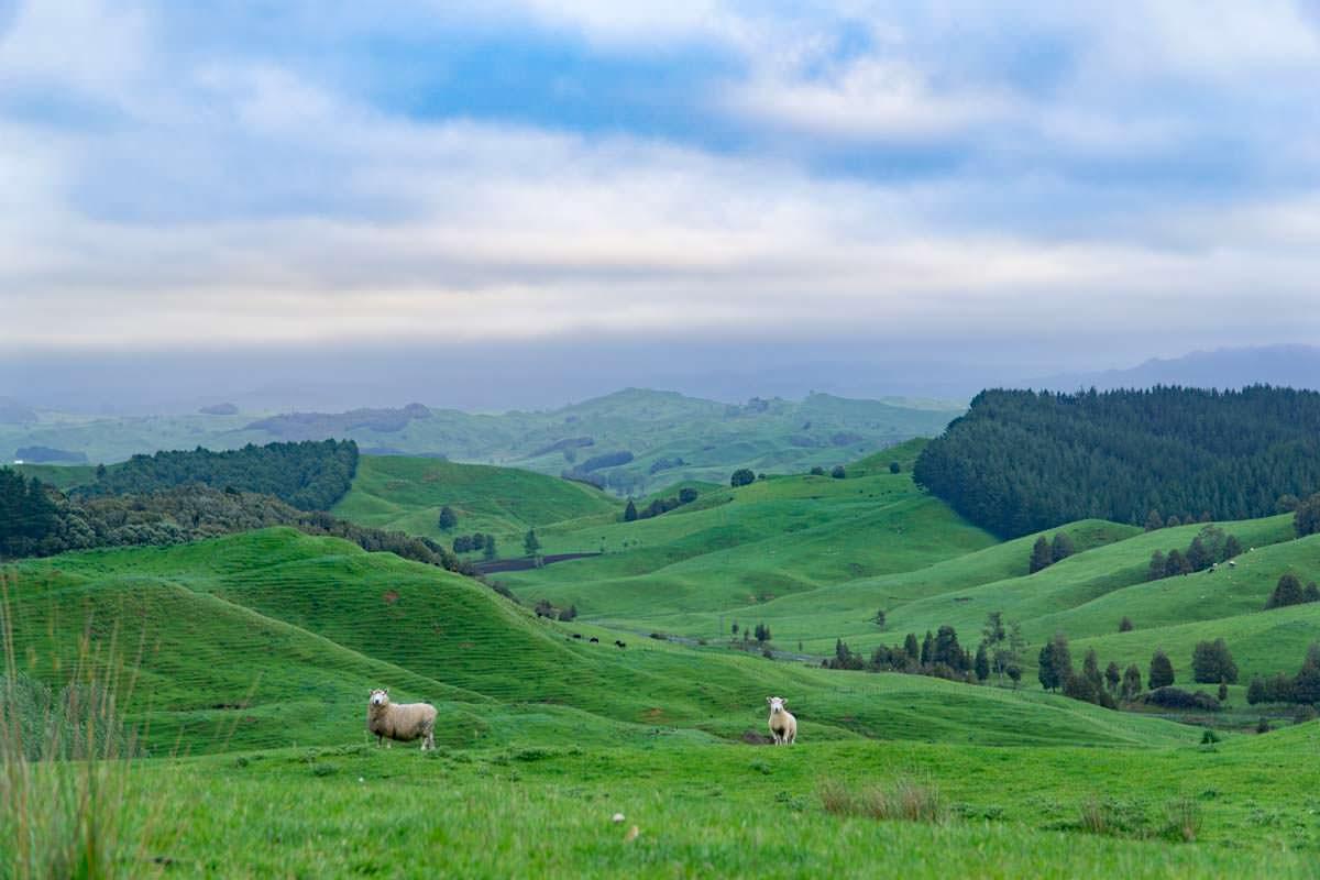 Schafswiesen beim Sonnenuntergang in Awakino, Neuseeland