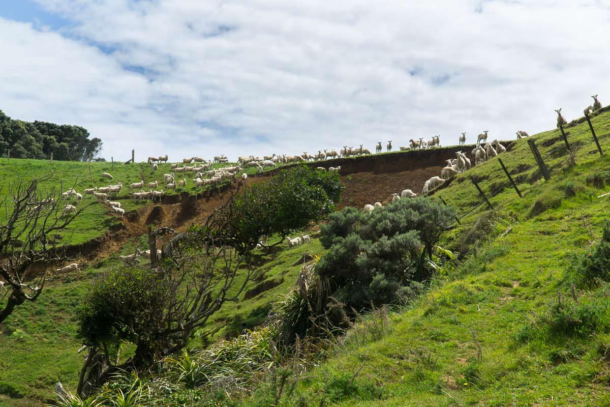 Schafsweide in Neuseeland