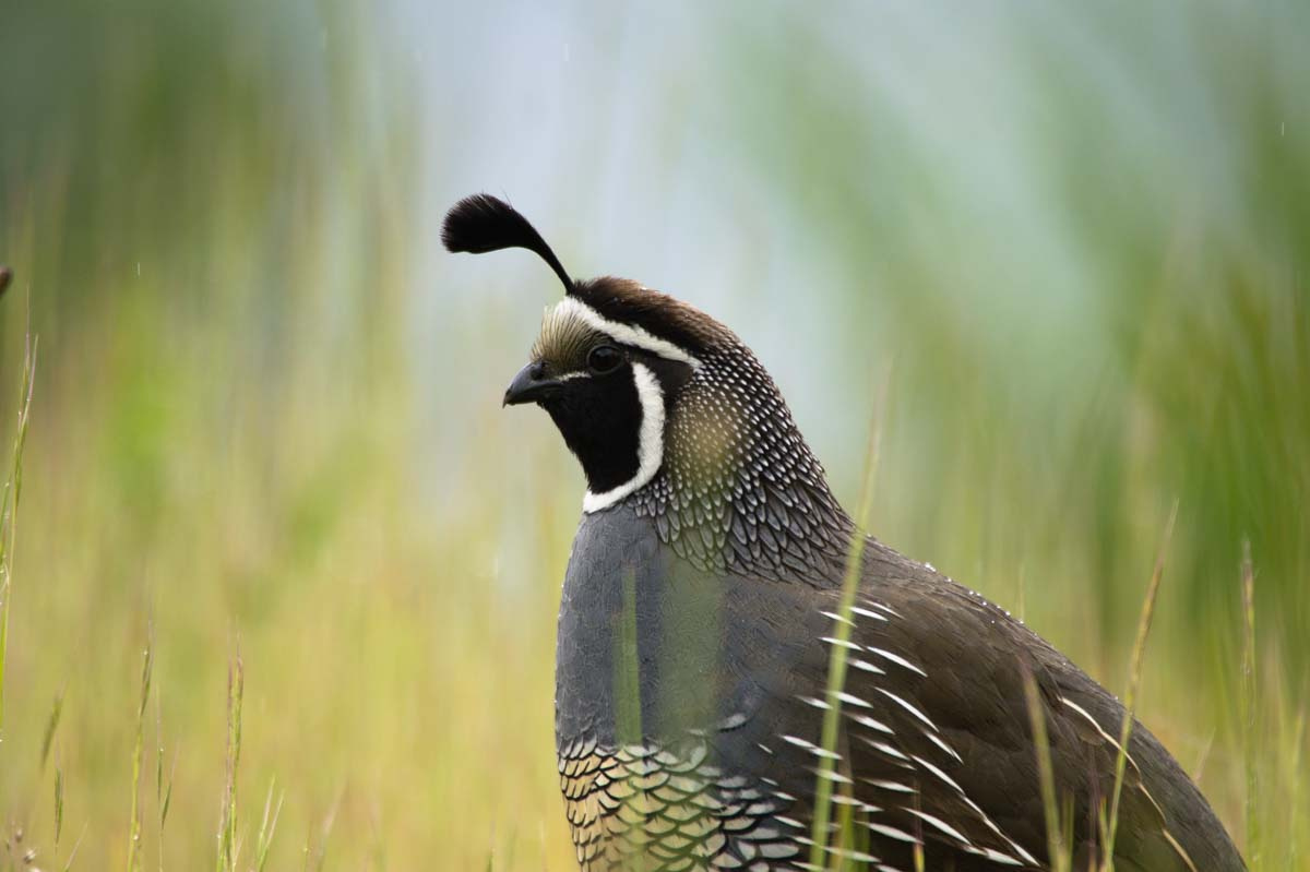 Kalifornische Schopfwachtel (California Quail) in Neuseeland