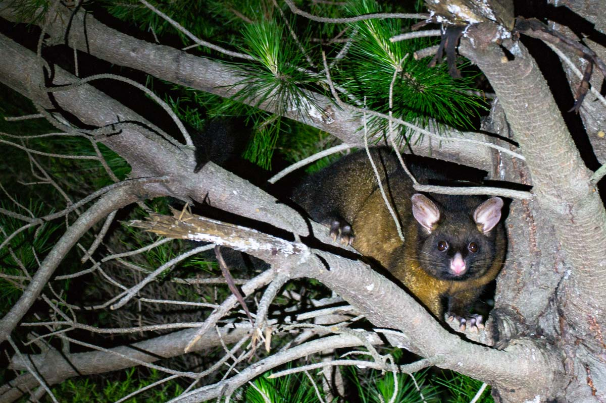 Possum im Baum der Elaine Bay