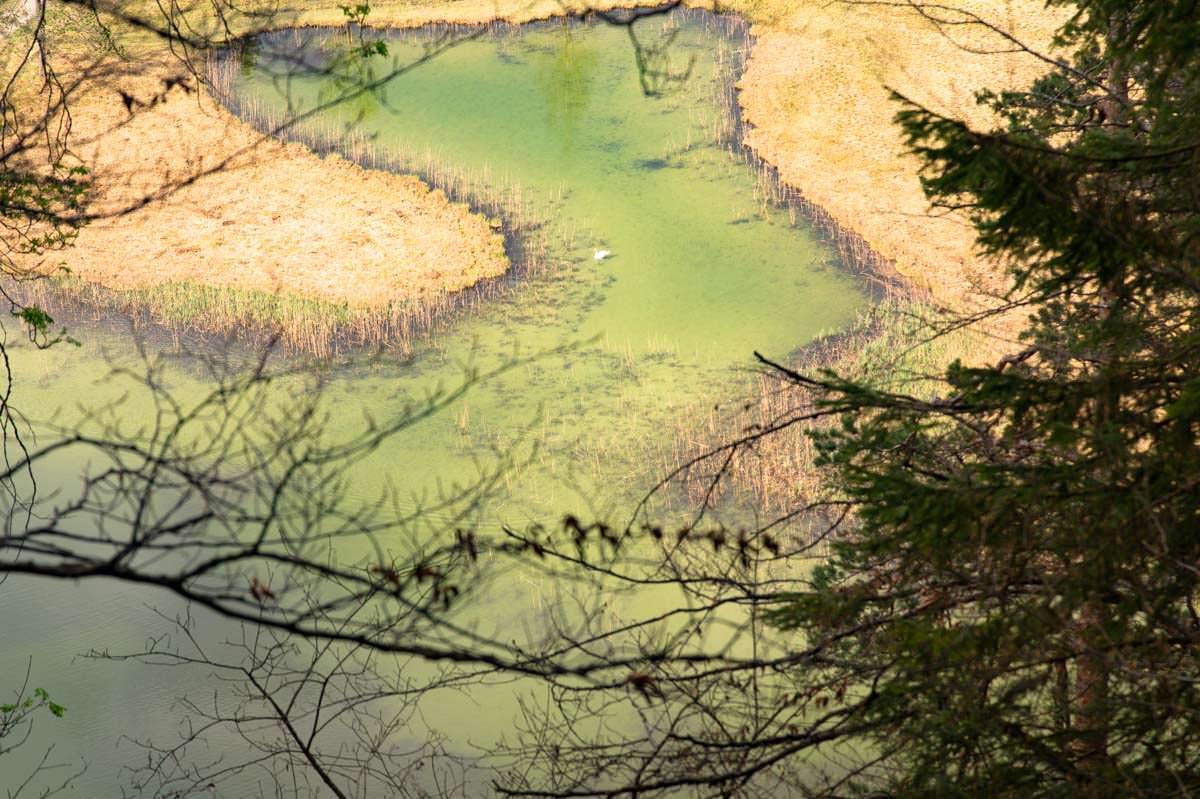 Blick auf den Schwansee mit Schwan in Füssen
