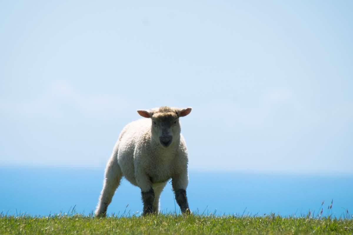 Lamm in Neuseeland