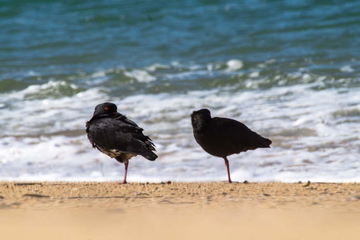 Vögel am Strand vom Abel Tasman Nationalpark in Neuseeland