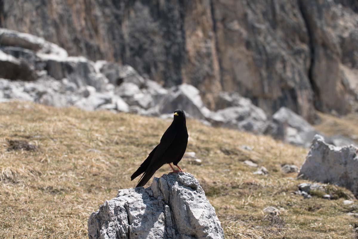 Alpendohle in den Dolomiten