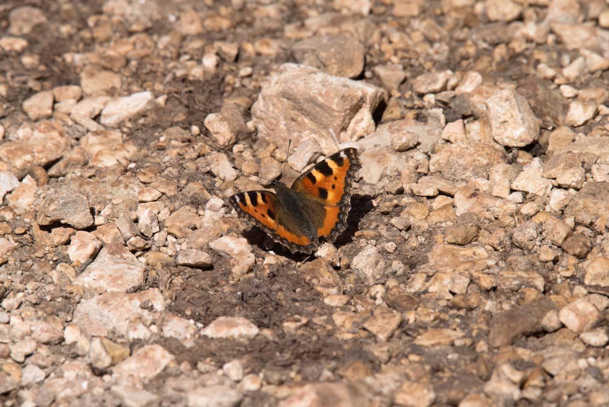 Schmetterling in den Dolomiten