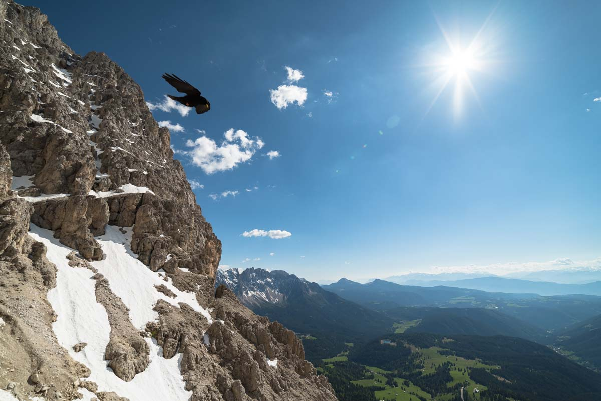 Alpendohle im Rosengarten, Dolomiten
