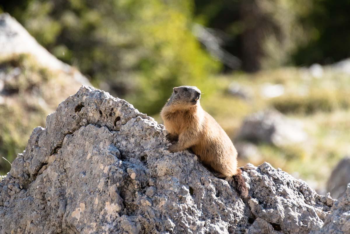 Murmeltier in den Alpen, Dolomiten