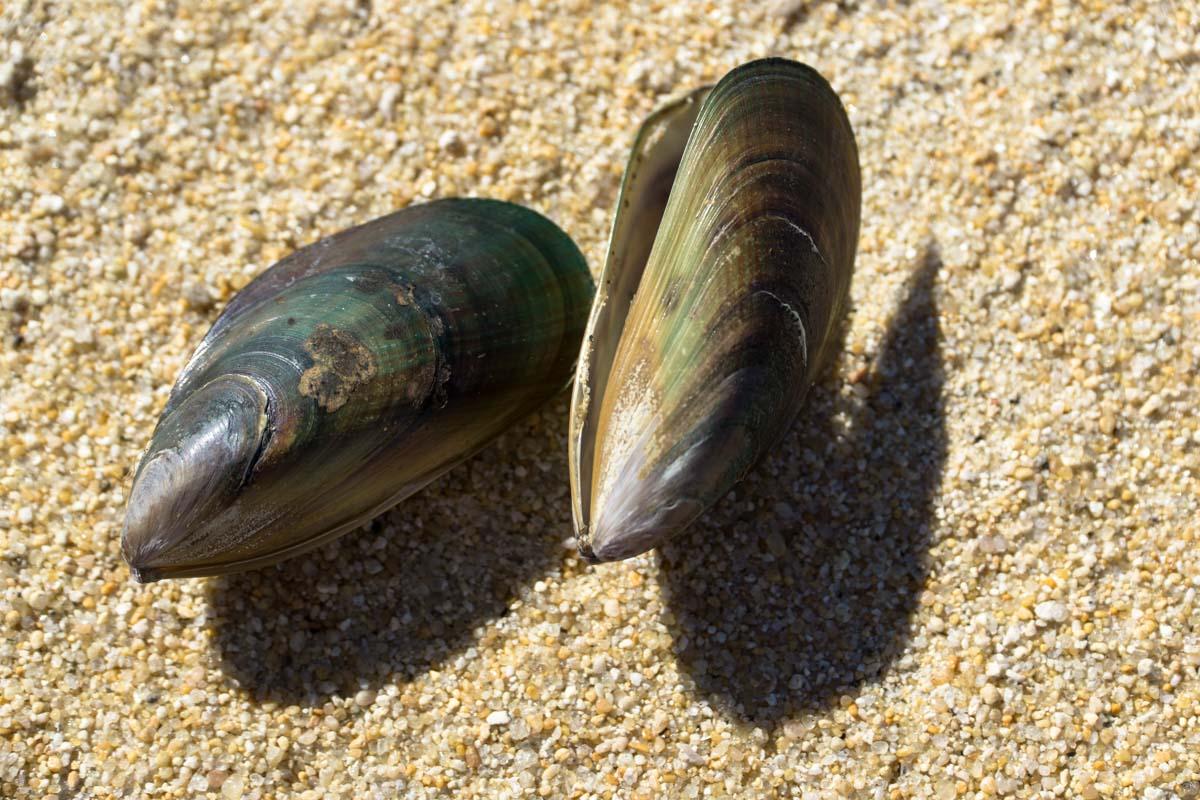Miesmuscheln am Strand von Neuseeland