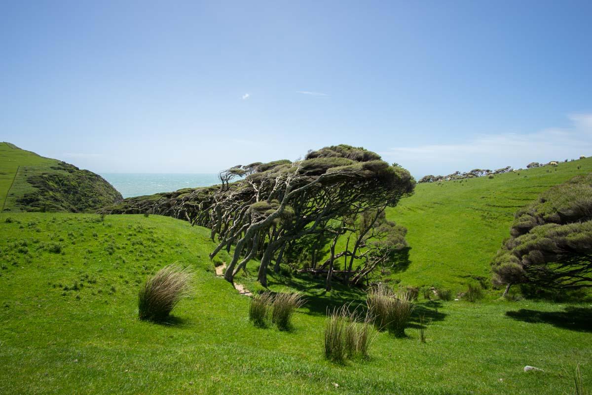 Schiefe Bäume am Cape Farewell in Neuseeland