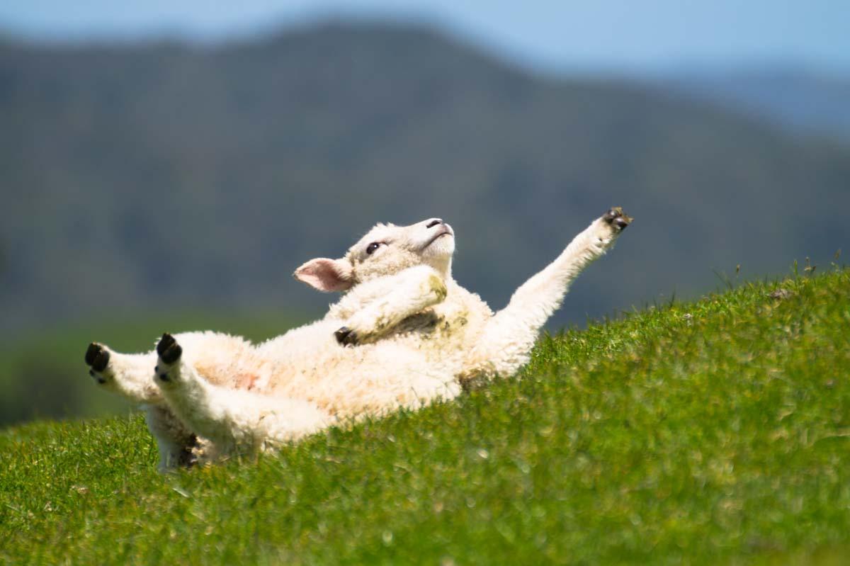 Lamm am Cape Farewell in Neuseeland