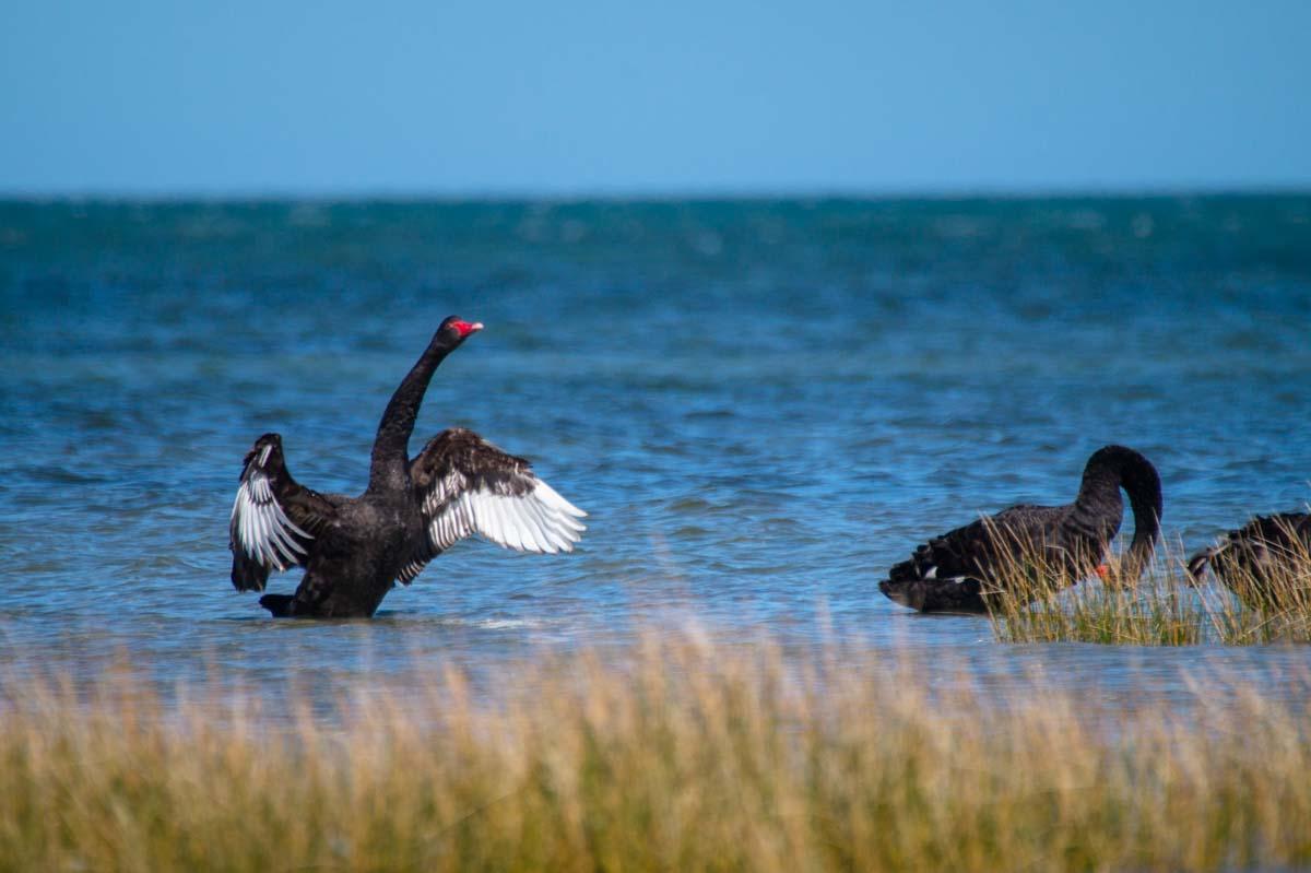 Schwarzer Schwan am Cape Farewell in Neuseeland