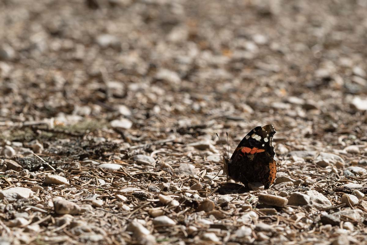Schmetterling in den Dolomiten