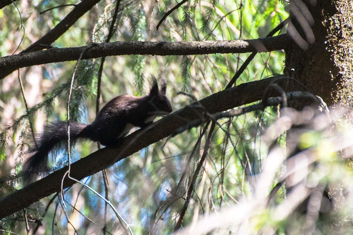 Eichhörnchen bei Seis am Schlern in den Dolomiten