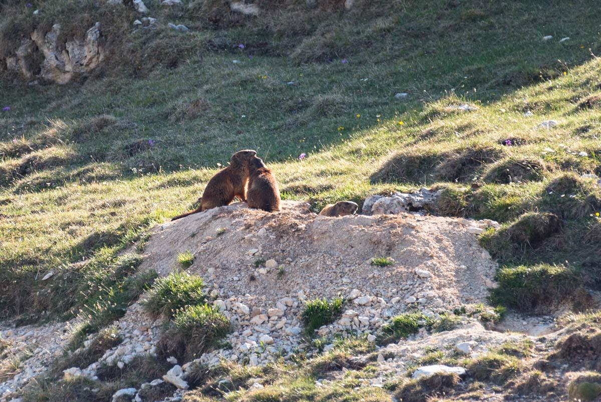 Alpenmurmeltiere am Schlern