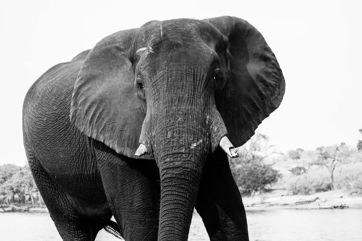Elefant im Chobe NP