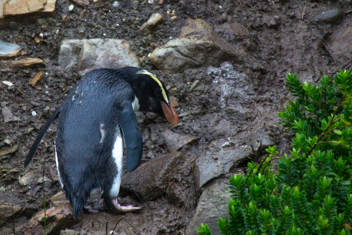 Fjordlandpinguin (Fjordland Crested Penguin) am Monro Beach