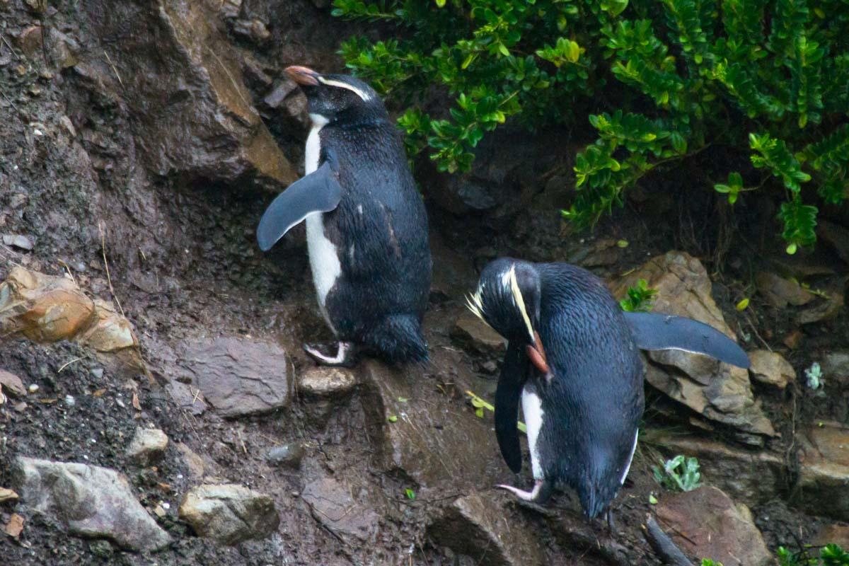 Fjordlandpinguine auf dem Weg zu ihrem Nest am Monro Beach