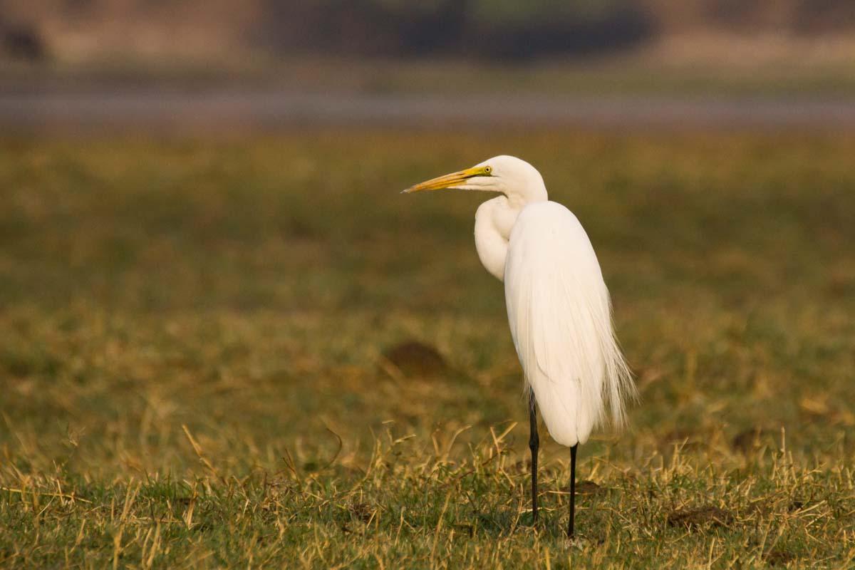 Silberreiher (Great Egret) im Chobe NP