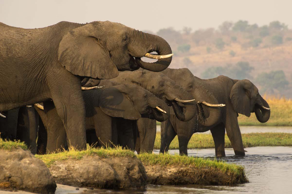 Elefantenherde beim Trinken im Chobe