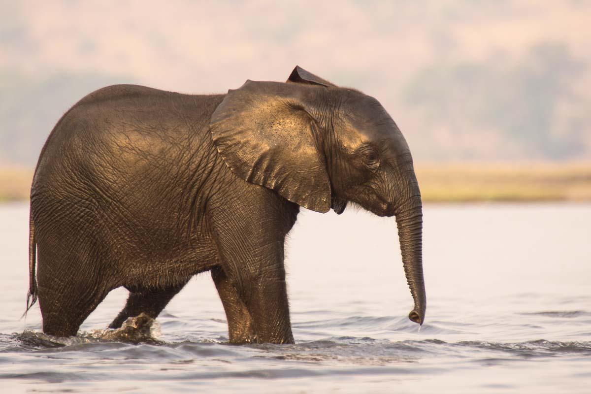 Elefantenbaby schimmert golden als es aus dem Chobe kommt