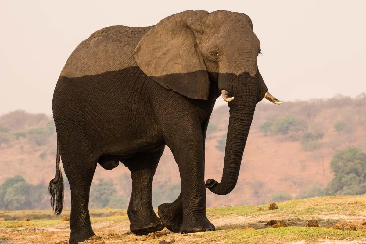 Zweifarbiger Elefant im Chobe NP