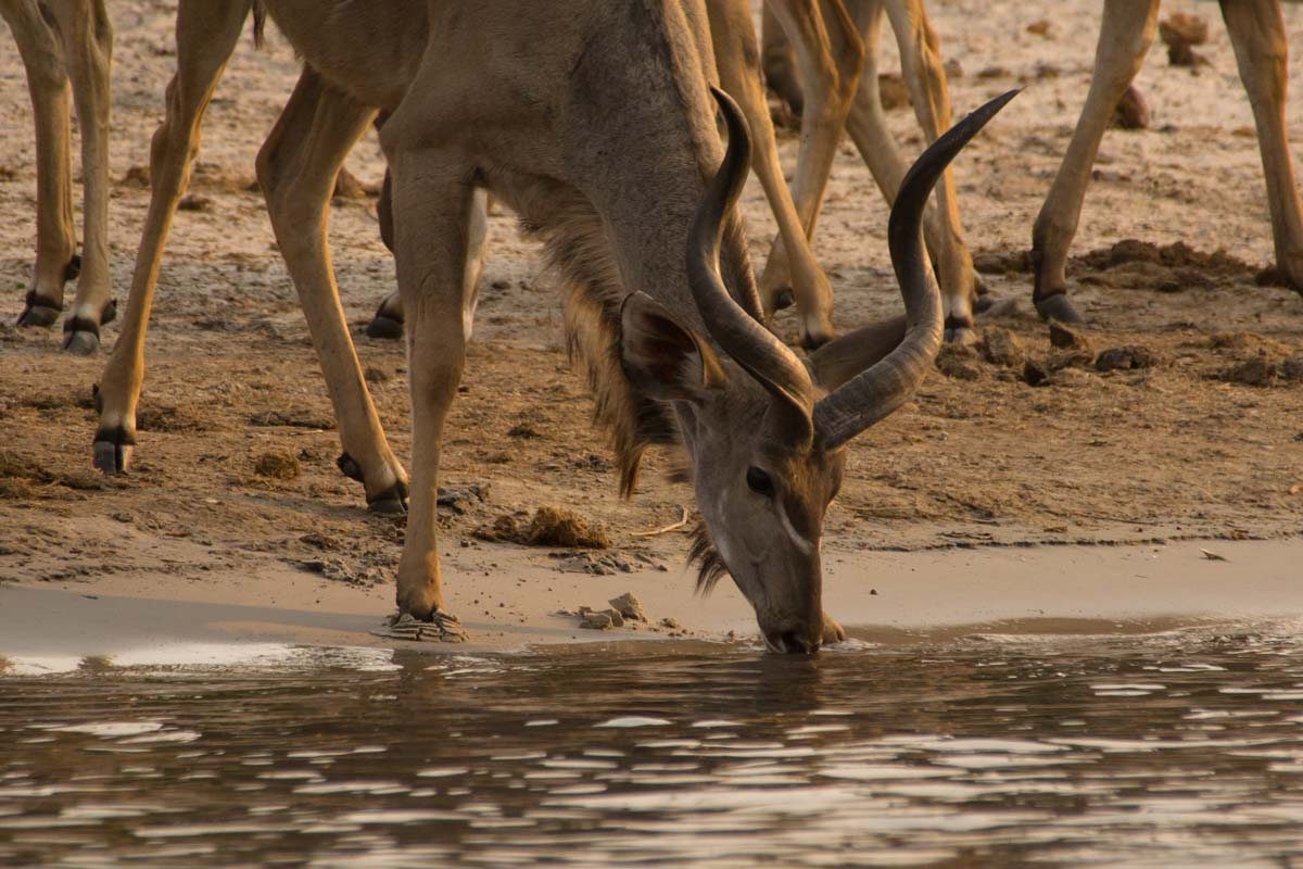 Kudu-Herde am Chobe Fluss