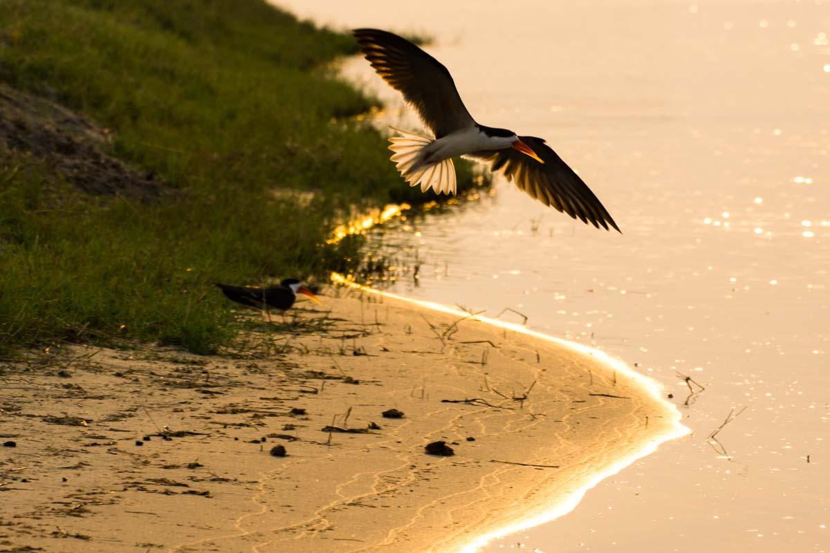 African Skimmer (Afrikanischer Scherenschnabel) im Chobe NP